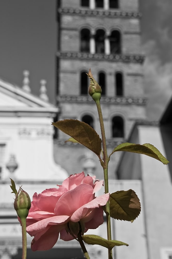 Pink Rose and Santa Cecilia in Trastevere | Rome | Italy
