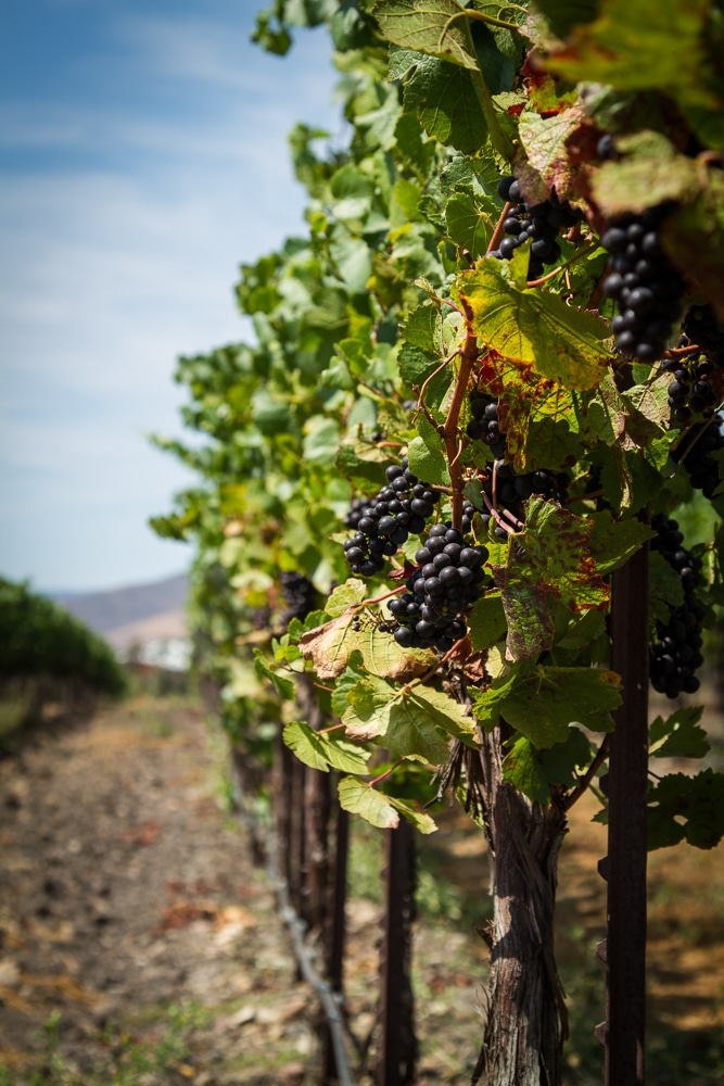 Approaching Harvest | Tolosa Winery | Edna Valley | San Luis Obispo | California