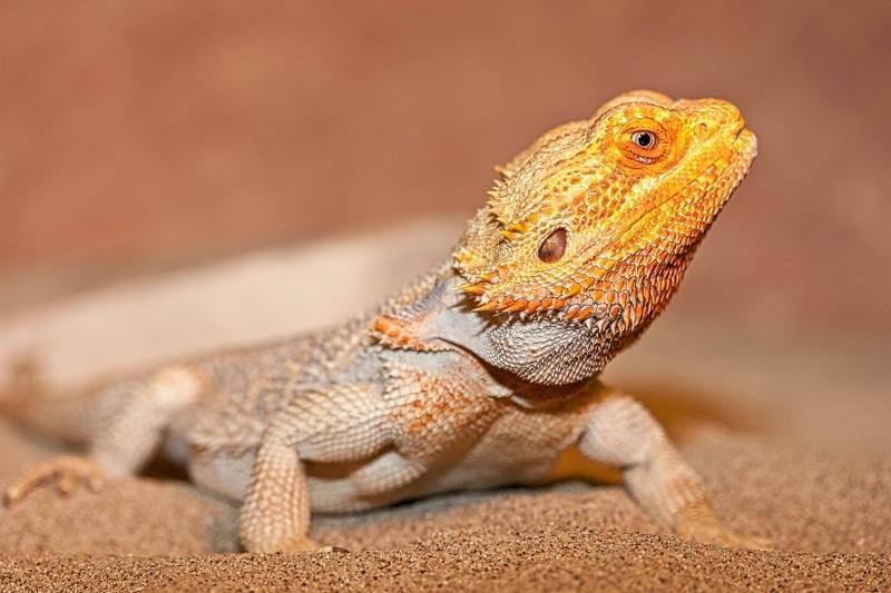 Lizard with Orange Head