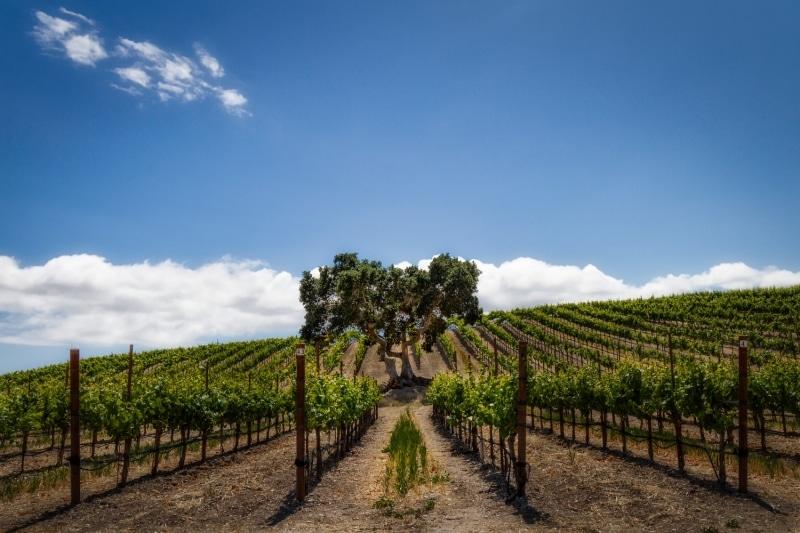 Love, Edna | Heart Shaped Oak Tree in the Vineyards | Edna Valley | San Luis Obispo, CA