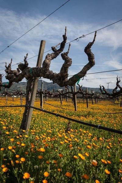Napa Valley Spring Vineyard and Wildflowers