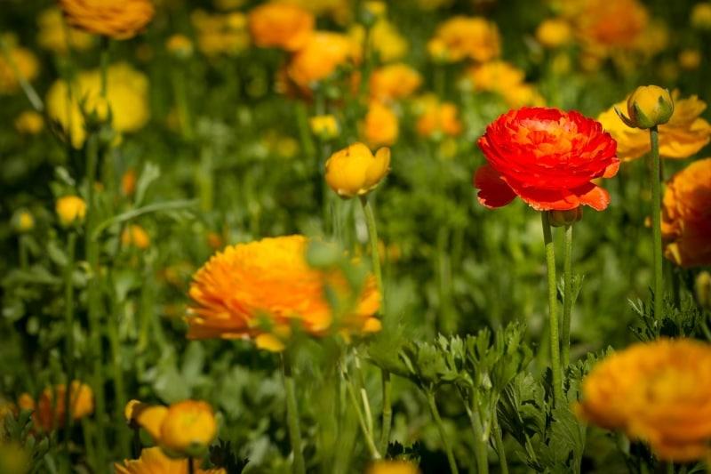 Ranunculus | The Flower Fields | Carlsbad | California