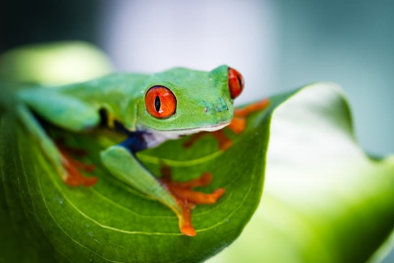 Red Eyed Tree Frog on a Leaf