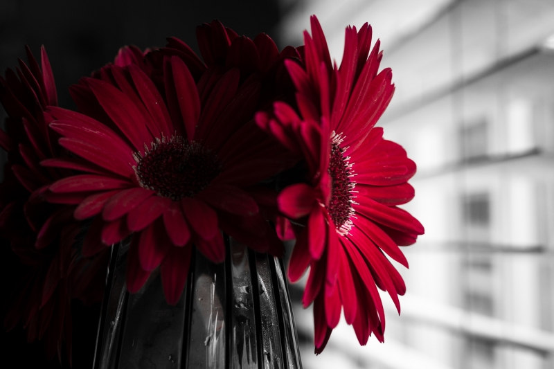 Red Gerbera Daisies Playing with Light and Shadow