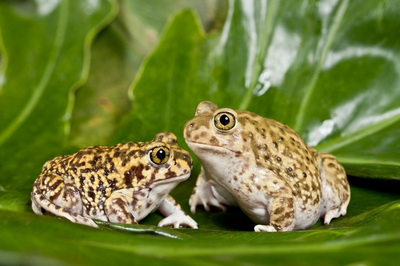 Toads with Golden Eyes