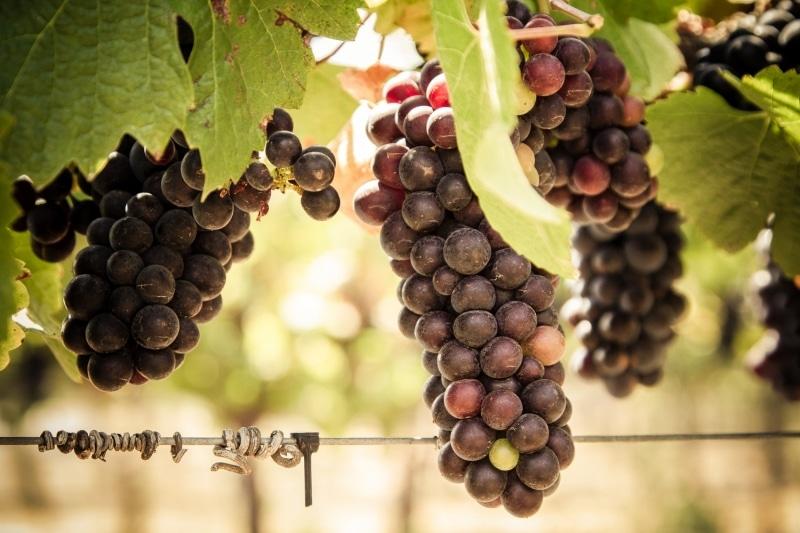 A Vineyard's Bounty | Tolosa Winery | Edna Valley | San Luis Obispo | California