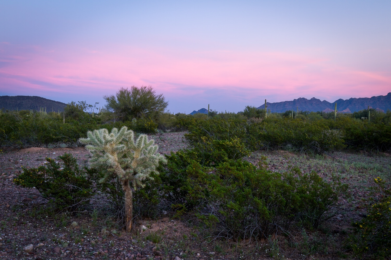 Cholla at Sunset | Organ Pipe Cactus National Park | Arizona