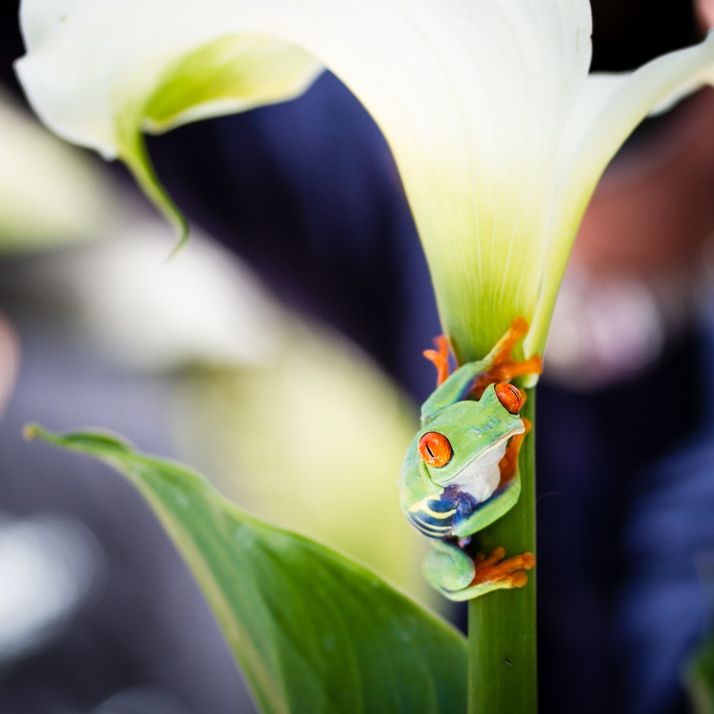 Curious Red Eyed Tree Frog on a Calla LIly