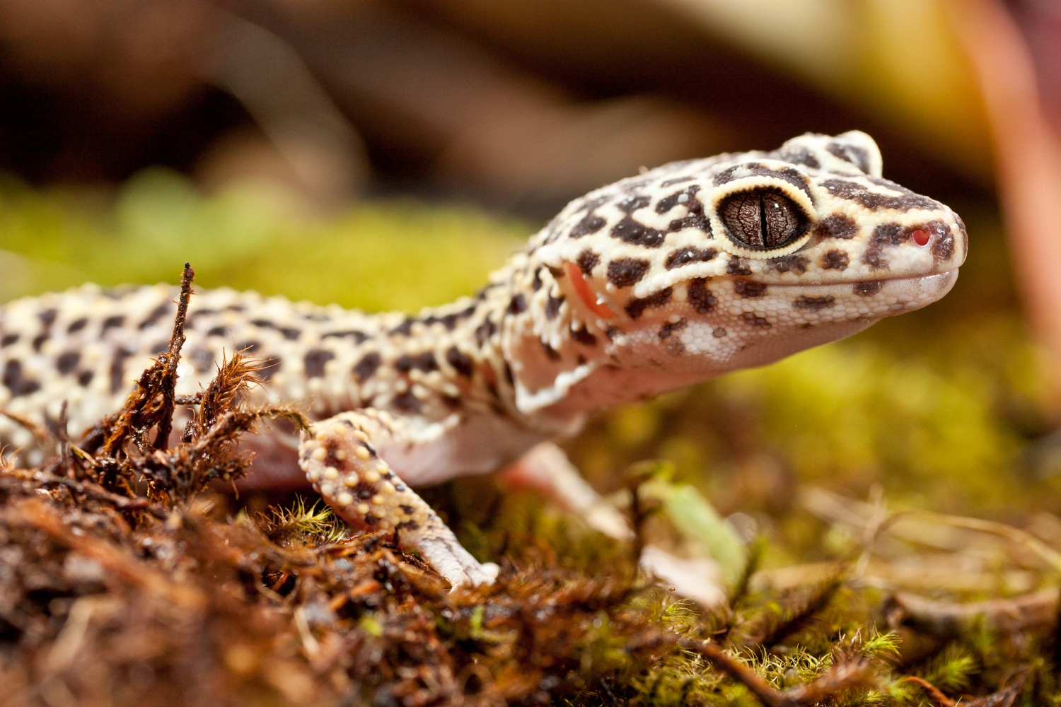 Curious Spotted Lizard