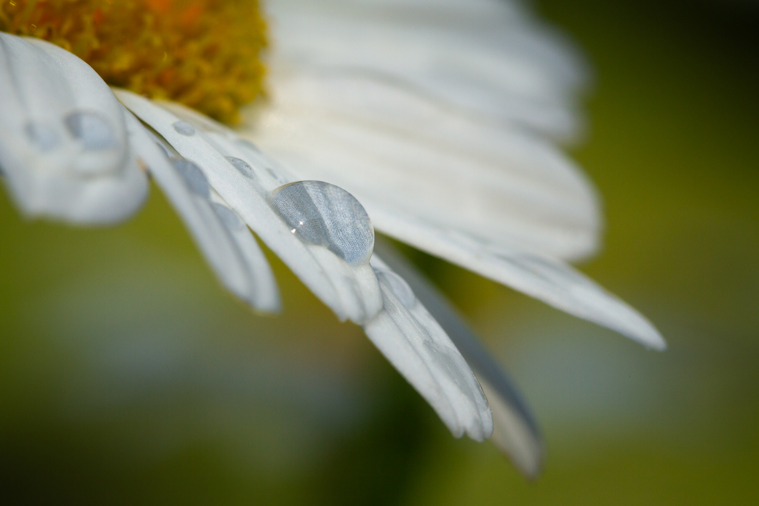 Daisy and Dewdrop | Chesapeake | Virginia