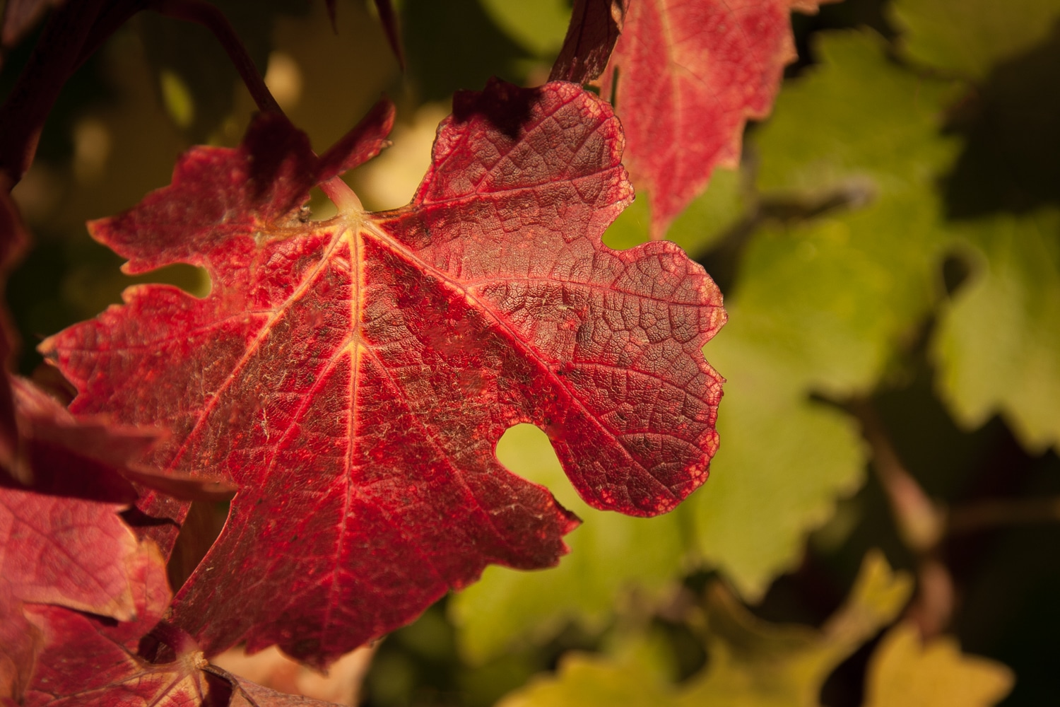 Fall in the VIneyard | Red Grape Leaf | Edna Valley Vineyard | San Luis Obispo | California