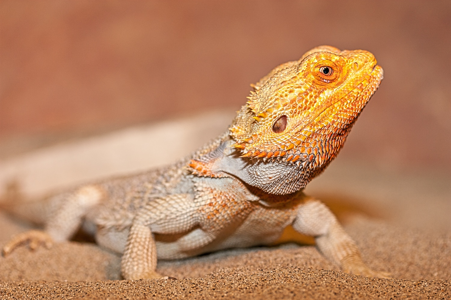 Lizard with Orange Head