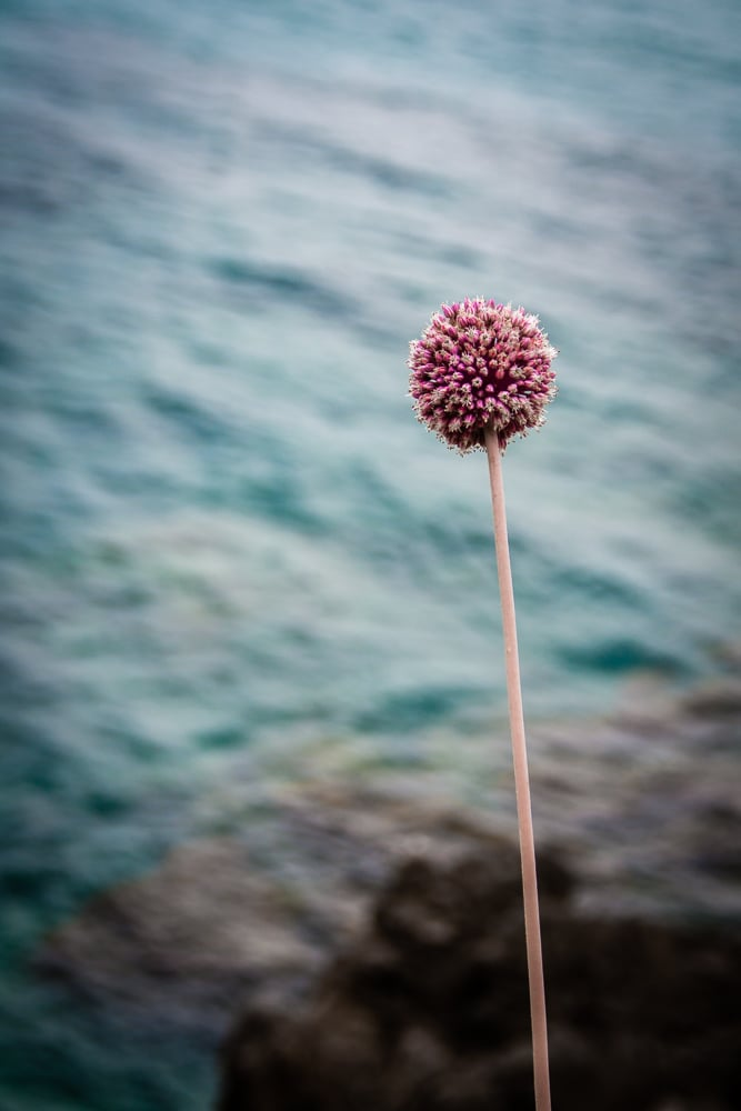 Puff Ball Flower | Cefalu | Sicily | Italy