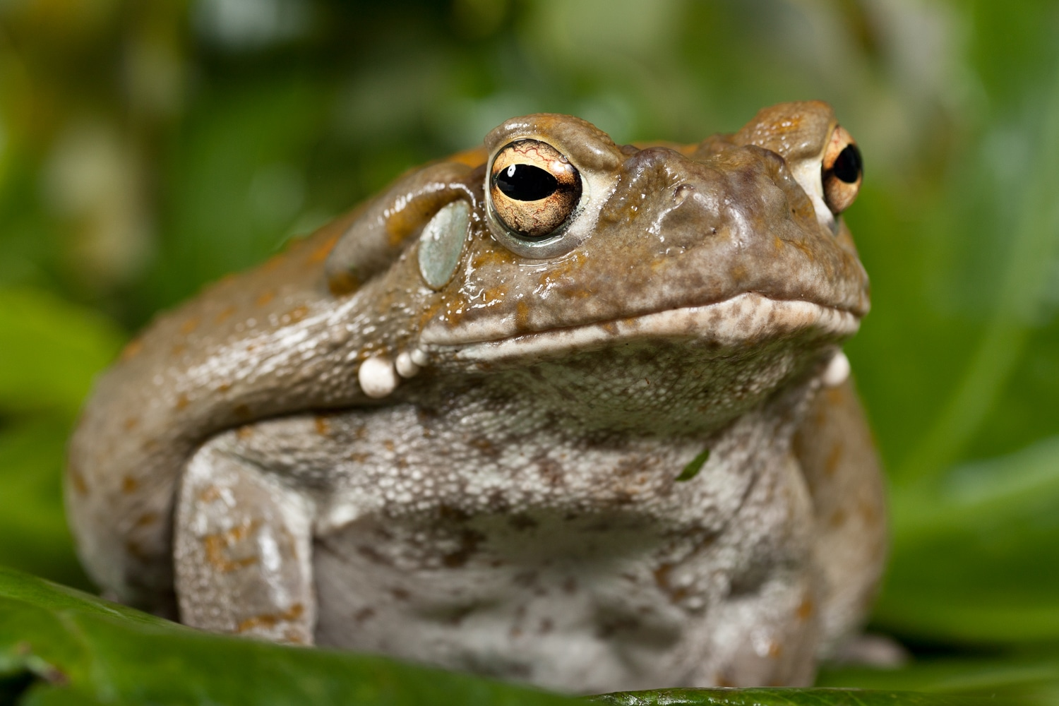 Toad with Golden Eyes