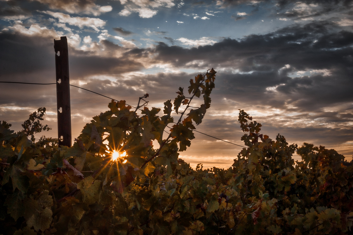 Vineyard Sunrise | Red Soles Winery | Paso Robles | California