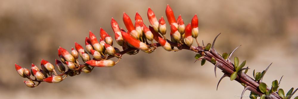 Ocotillo | Spring | Anza Borrego Desert State Park