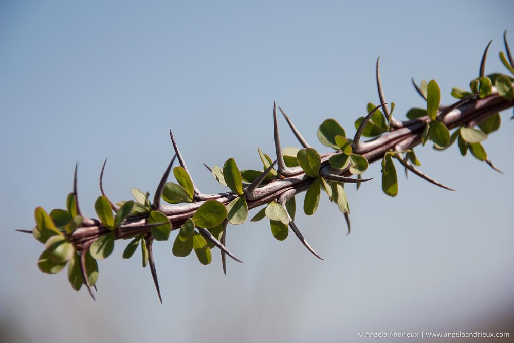 Ocotillo Bud | Spring | Anza Borrego Desert State Park