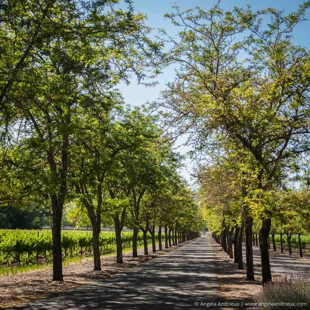 Sterling Vineyards Tree Tunnel | Napa Valley | Calistoga, CA