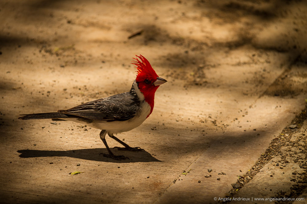Red-Crested Cardinal | Diamond Head State Park | Oahu | Hawaii