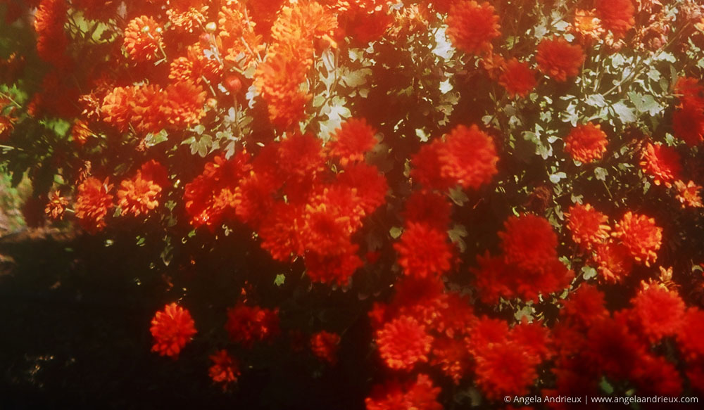 Captured with the Olympus 35 | Vintage Antique 35mm Film Camera | Orange Flowers