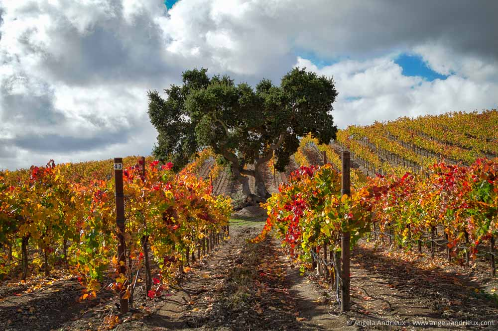 Heart Tree | Edna Valley | San Luis Obispo, CA | Wine Country Vin