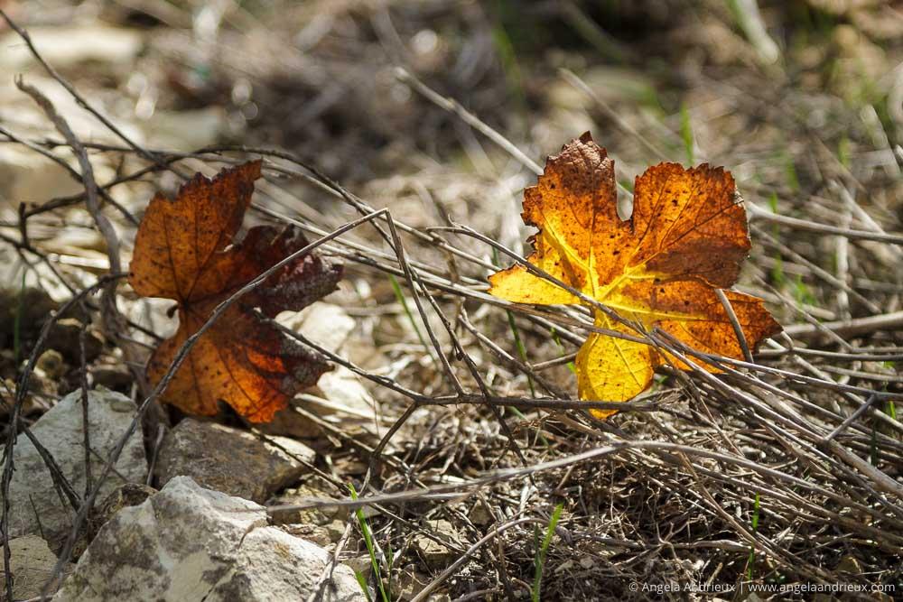 Grape Leaves | Edna Valley | San Luis Obispo, CA | Wine Country Vin