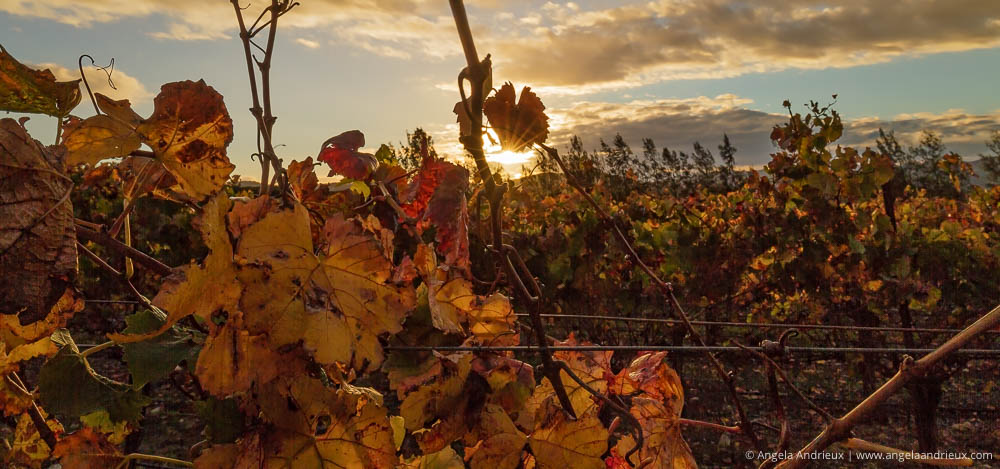 Sunburst through grape vines | Edna Valley | San Luis Obispo, CA | Wine Country Vineyard Fall Colors