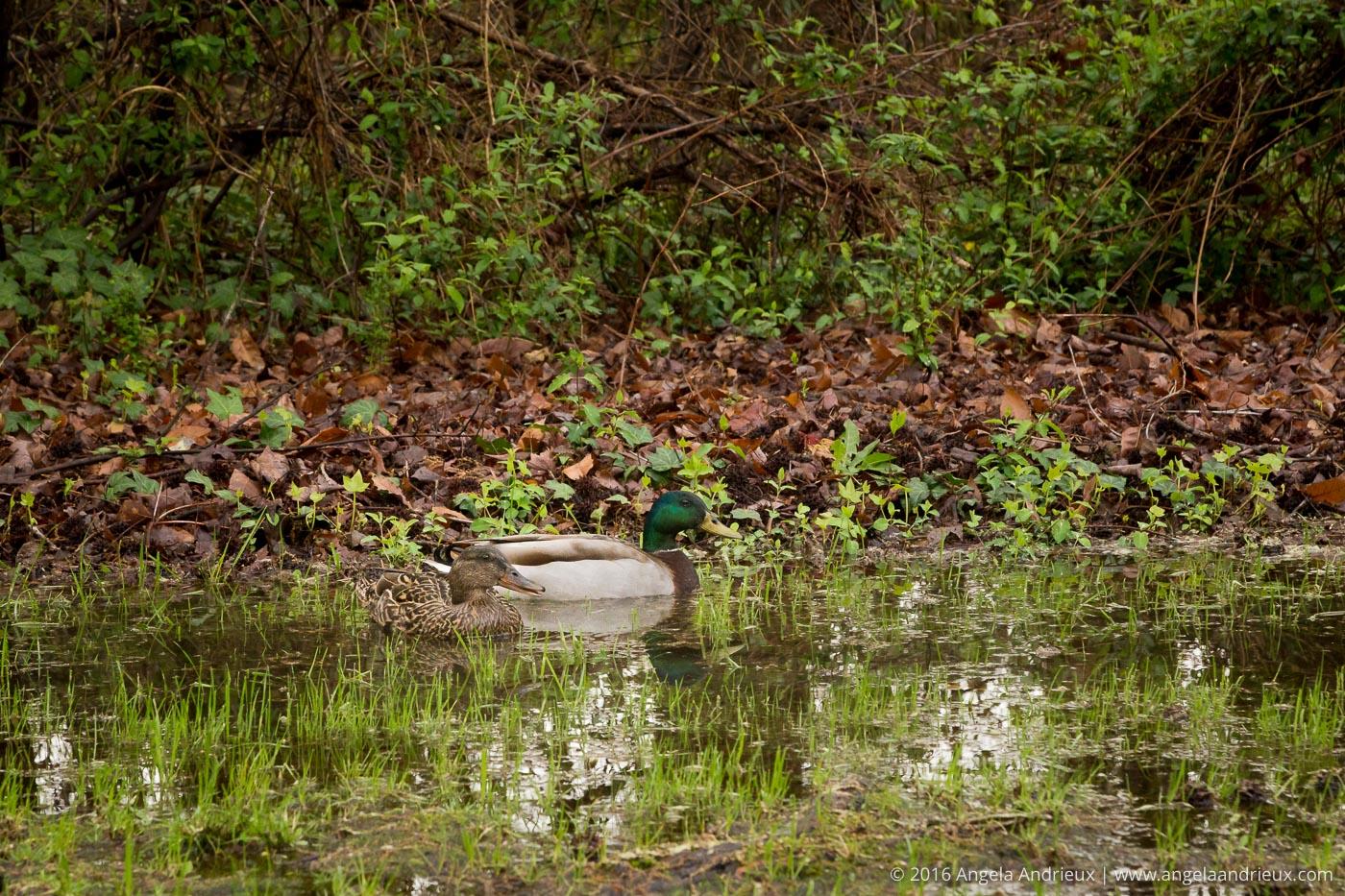 Ducks in a puddle | Chesapeake, VA
