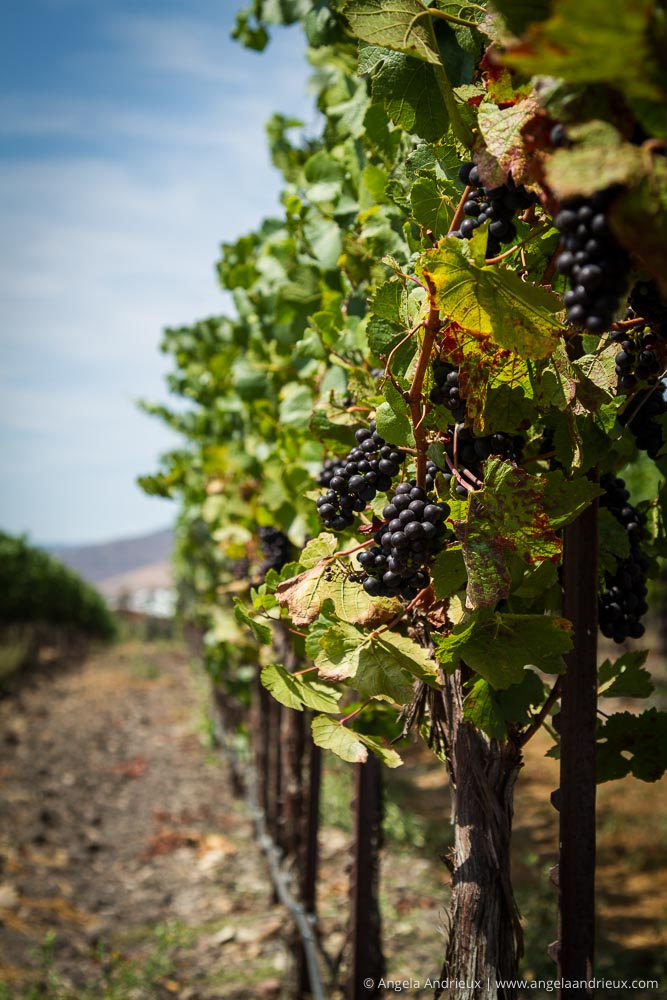 Approaching Harvest | Tolosa Winery | San Luis Obispo, CA | Edna Valley Wine Tasting
