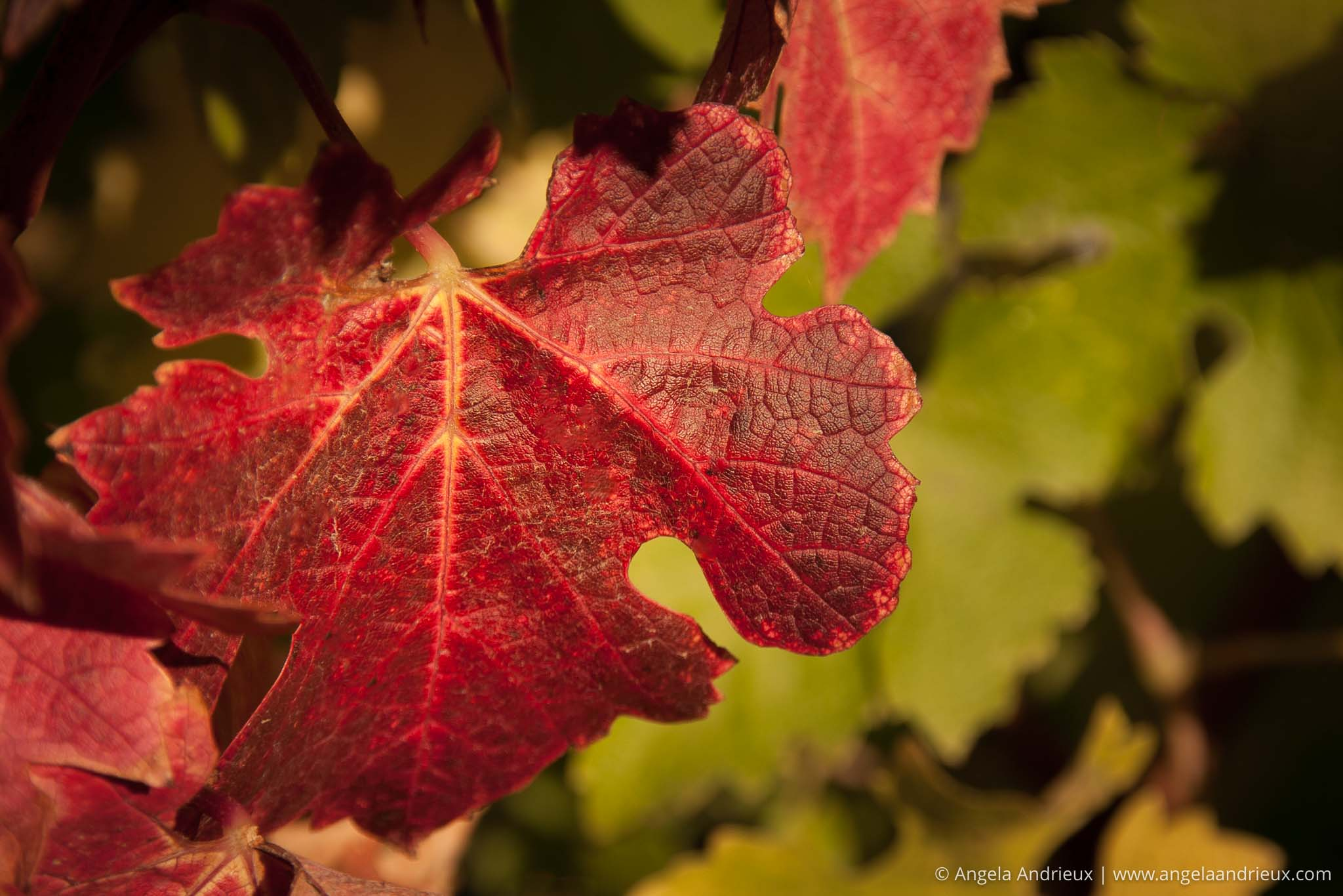 Red Fall Leaf | Fall in the Vineyard | Edna Valley Vineyard | San Luis Obispo, CA