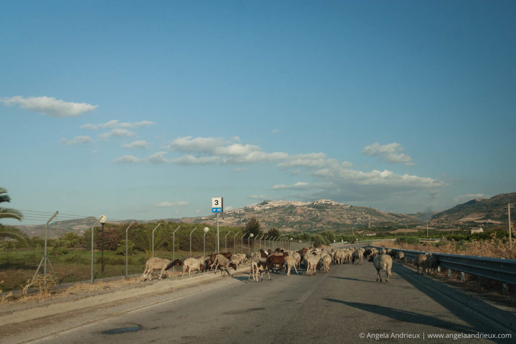 Geep (Sheep and Goats) | Mineo | Sicily | Italy