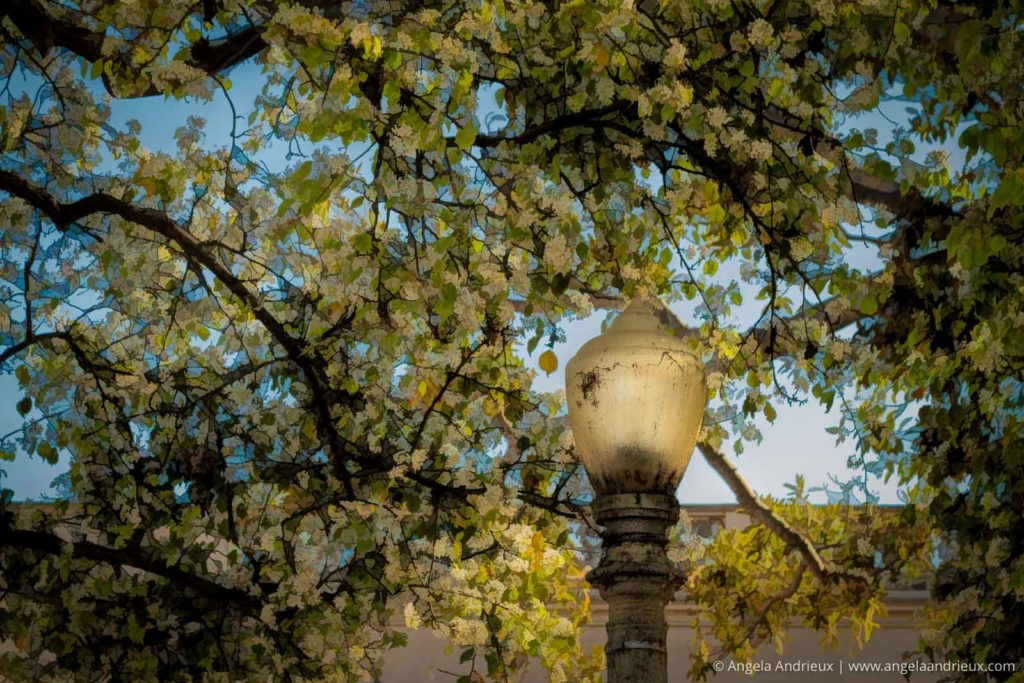 Lamp Post in Balboa Park, Framed by spring tree blossoms | San Diego, CA