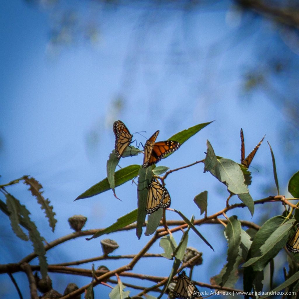 Monarch butterflies in a Eucalyptus tree arguing over a leaf
