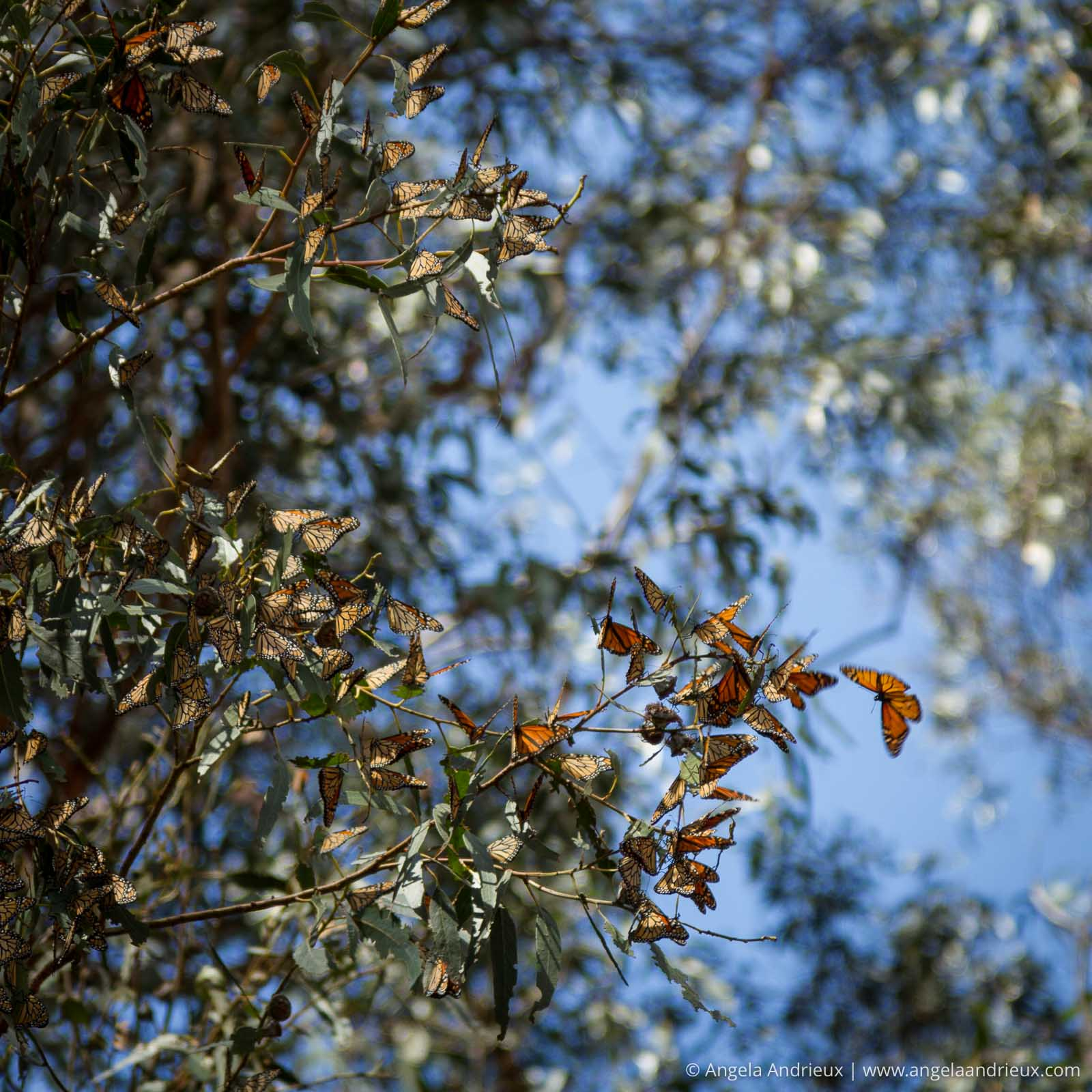 Bright orange Monarch Butterflies in a Eucalyptus Tree in Pismo Beach, CA