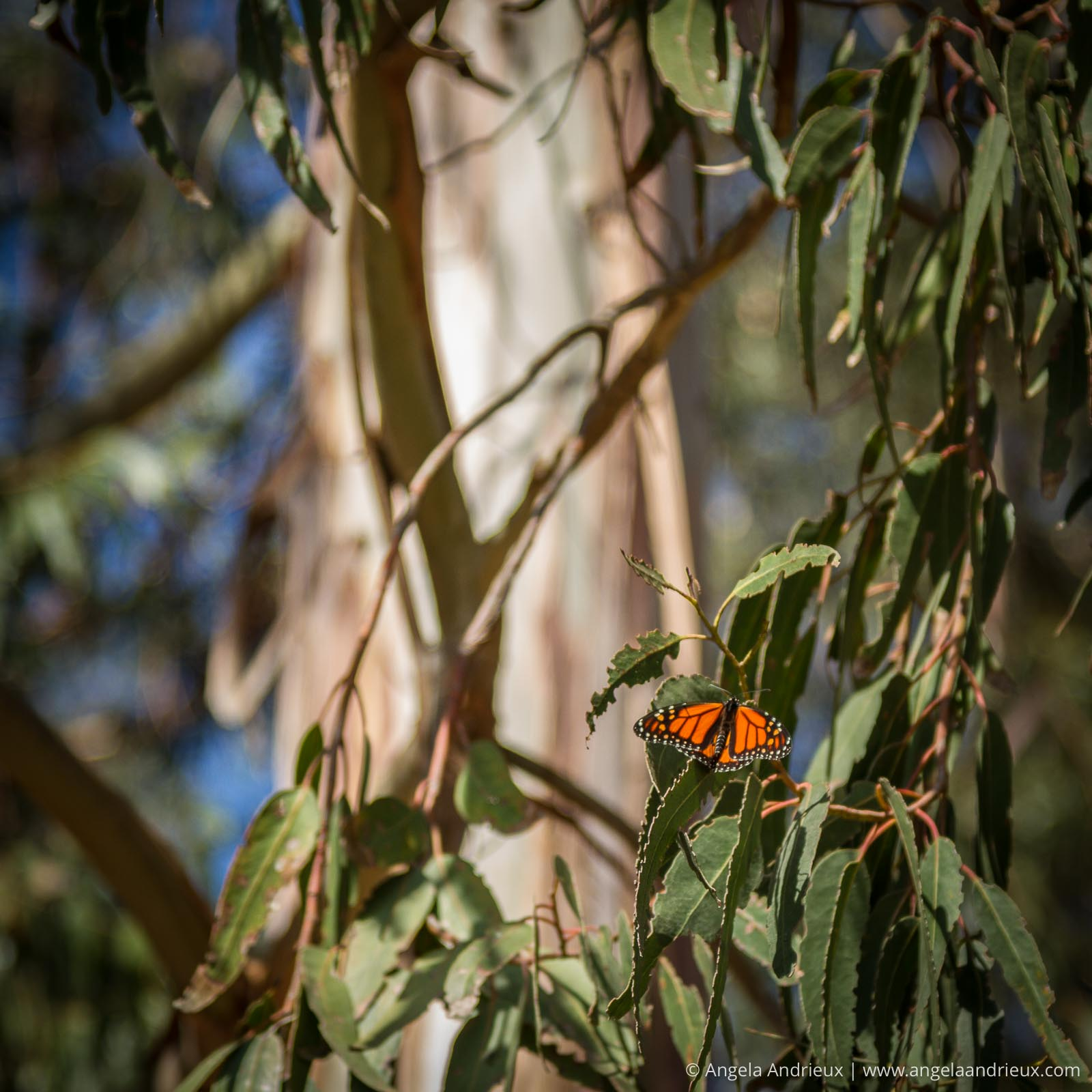 Bright orange Monarch Butterfly in a Eucalyptus Tree in Pismo Beach, CA