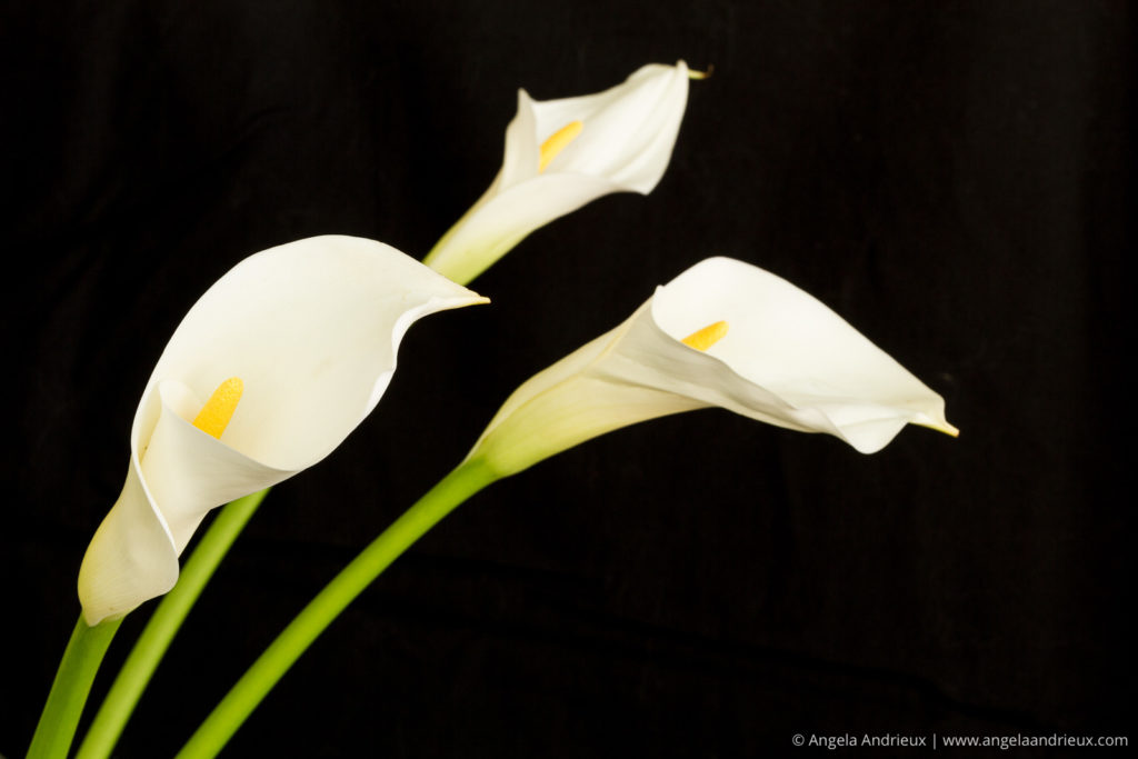 Calla Lily Trio on black background