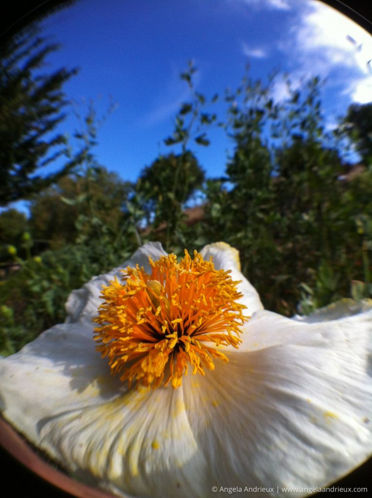 Fisheye view of a flower, capture with an iPhone 4 and Olloclip Lens