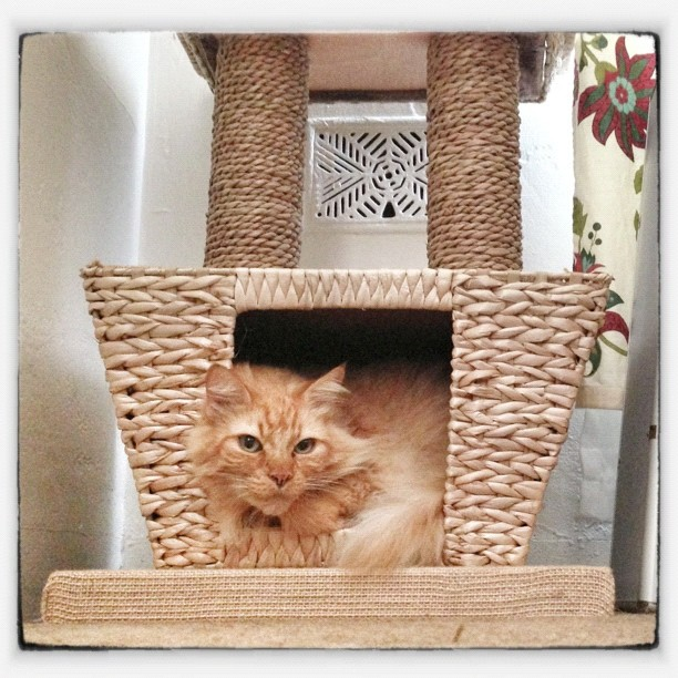 Pumpkin Cat Enjoying his new cat tree