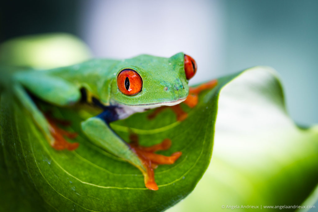 Red Eyed Tree Frog on Calla Lily