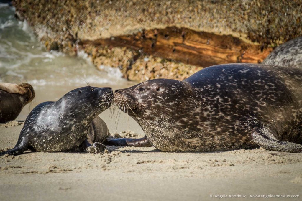 Mom & baby Sea Lion touching noses in the sand in La Jolla, CA