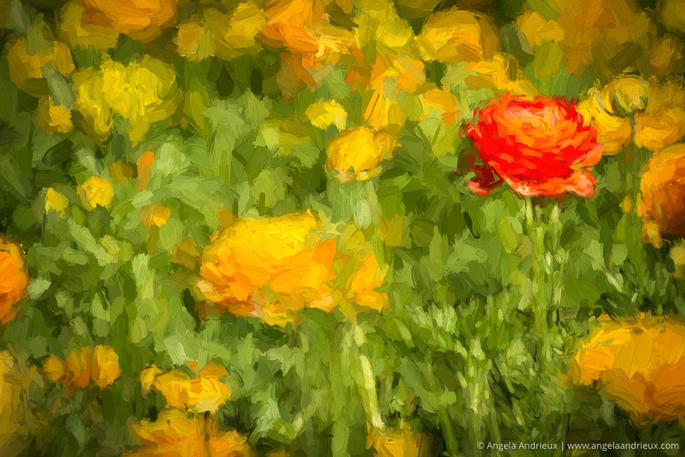 Rununculus Flower Fields | Carlsbad | California | Created with Topaz Impression