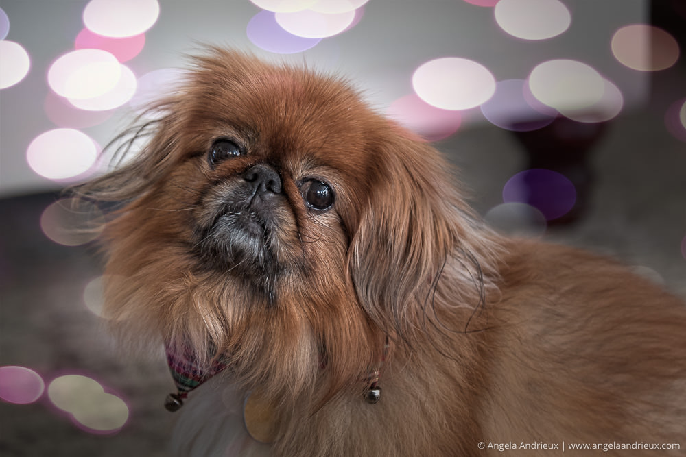 Chloe Pekingese Dog - After Topaz Studio + Texture Effects in Studio