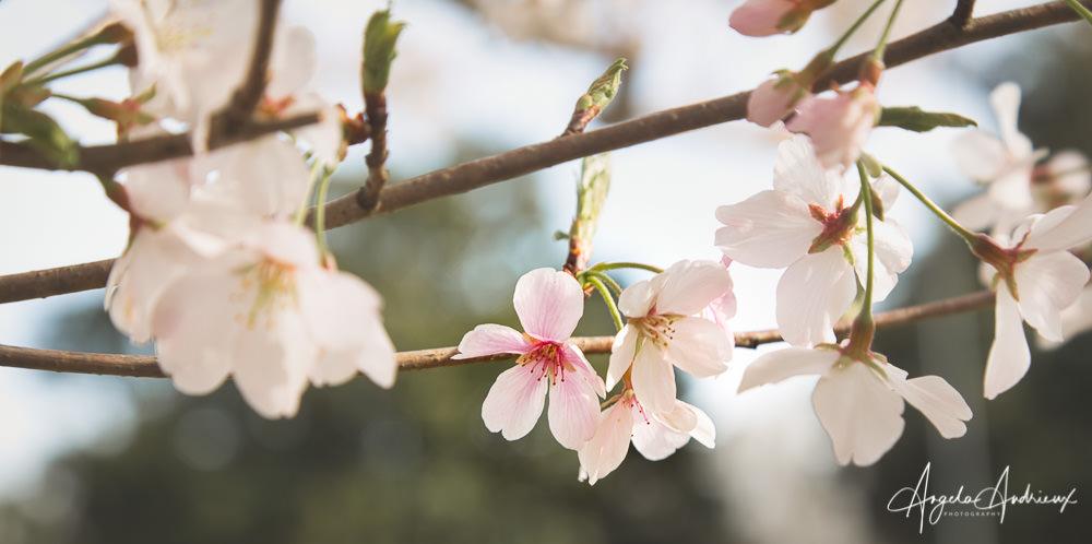 Cherry Blossoms | Sakura| Red Wing Park | Virginia Beach, VA