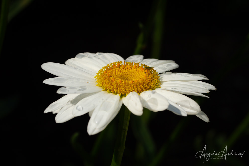Daisy with Dew Drops