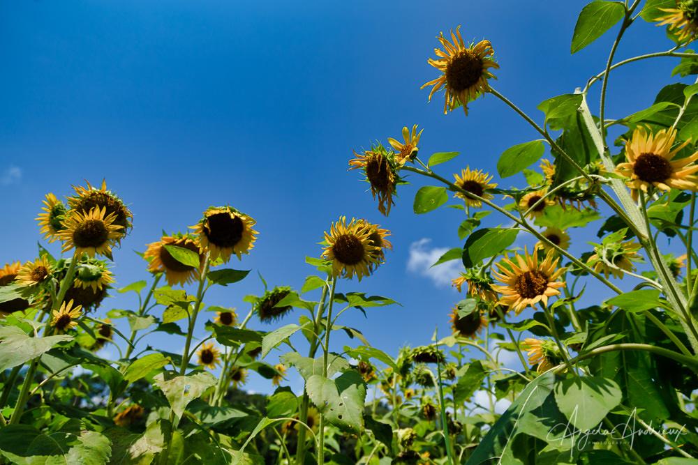 Sunflowers at Windsor Castle Park in Smithfield, Virginia