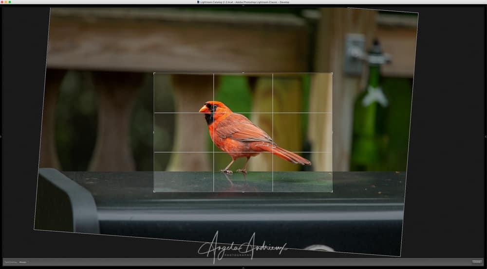 Red Cardinal Bird - Crop Screenshot