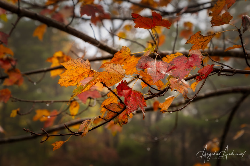 Autumn Leaves | Shenandoah National Park | Virginia