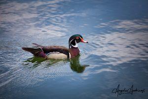 Wood Duck at Santee Lakes, California