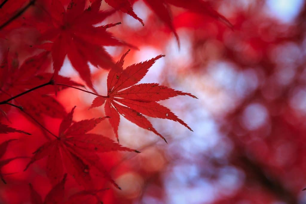 Red Japanese Maple Tree | Chesapeake | Virginia