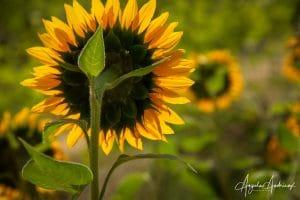 Sunflowers Looking Toward the Light